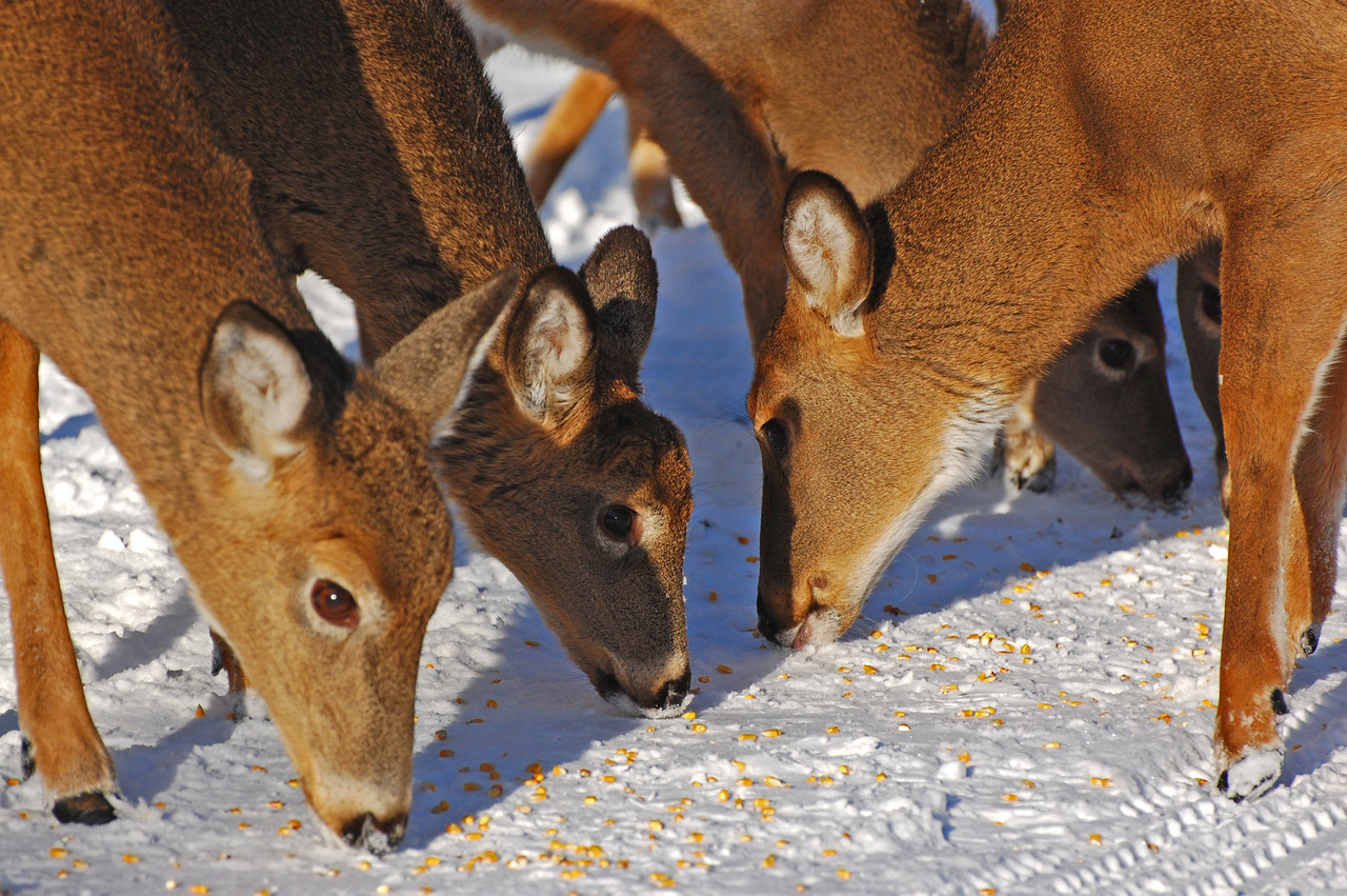 Deer love corn kernels!