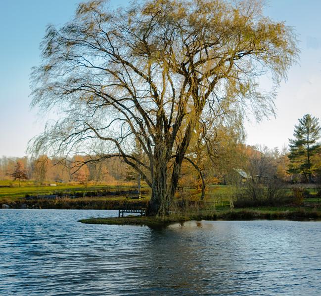 Golden Willow tree