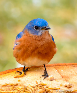 Backyard bluebirds