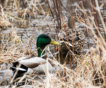 Mr. and Mrs. Mallard