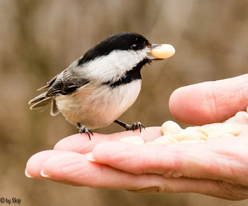 Chickadee with a tasty tidbit