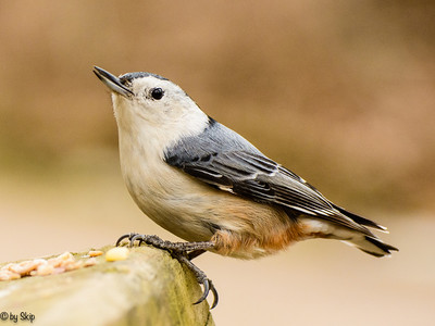 Whte breasted nuthatch