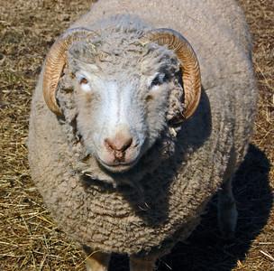 Sheep (Obviously, I guess)