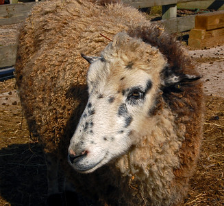 A different sheep