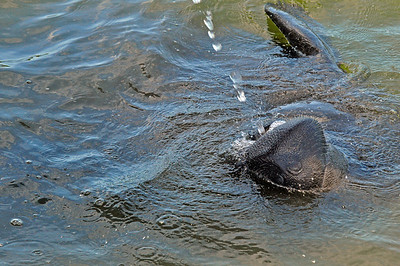 Momma Manatee drinking a stream of water from the hose.