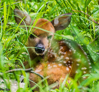 Tuckered out, the little fawn finally found a resting place.