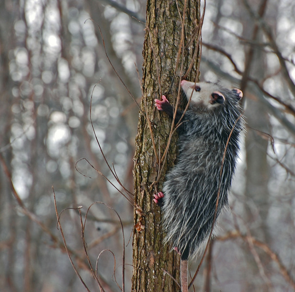 Bob spotted this possum climbing a tree.