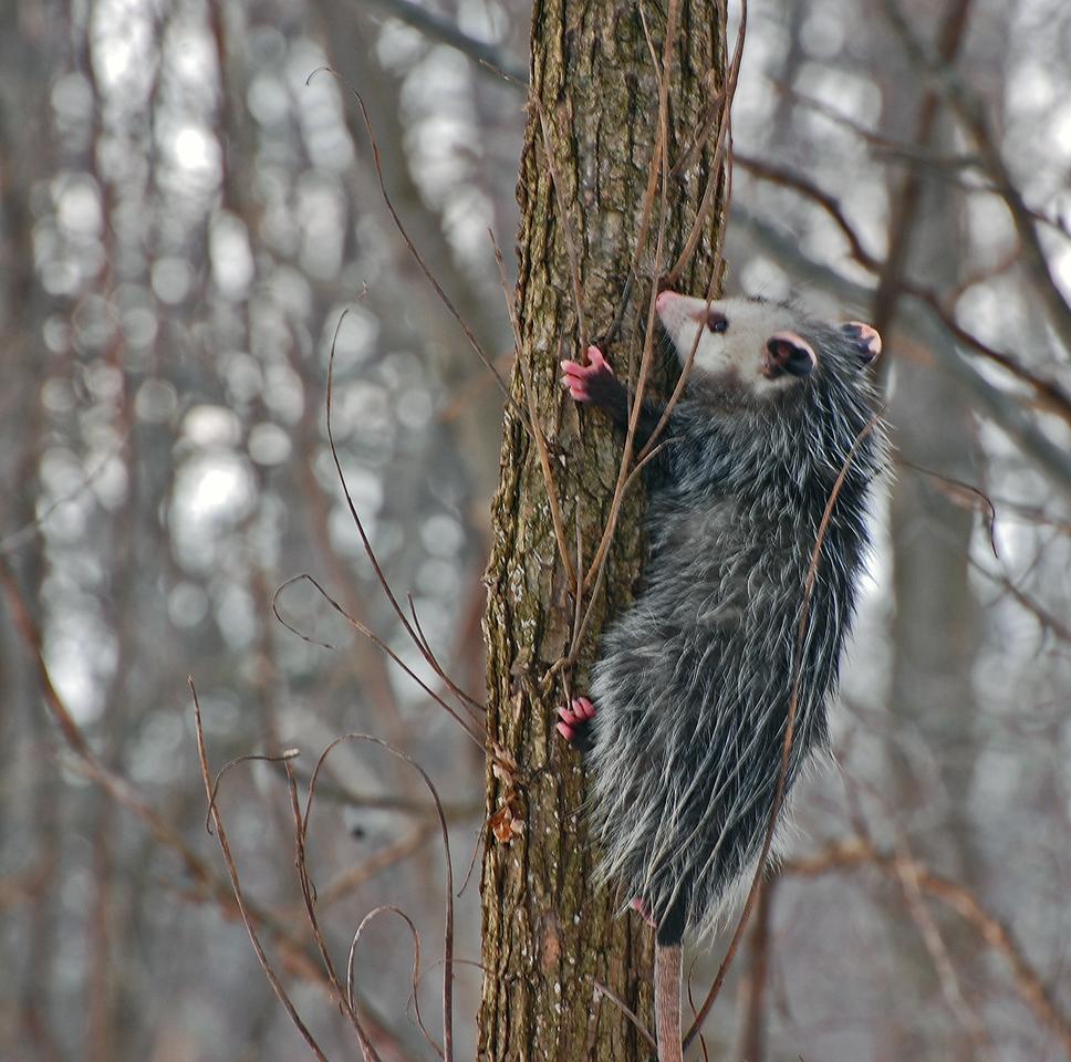 Bob spotted this possum climbing a tree.