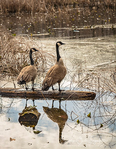 Canada geese contemplating spring