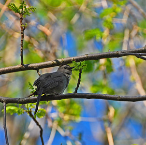 A young catbird (I think)