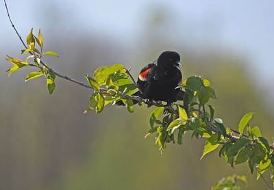 Redwing blackbird voicing a complaint They always sound like they are complaining anyway.