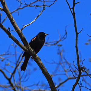 Redwing blackbird in early spring