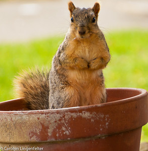 Potted squirrel