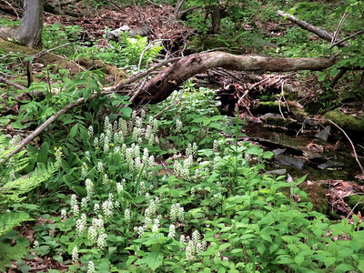Foam flowers along the trail.