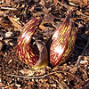Skunk cabbage flowers.