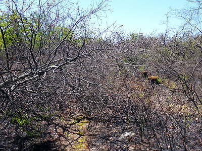 Slashed trees where the fire was stopped.