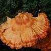 Chicken mushroom.