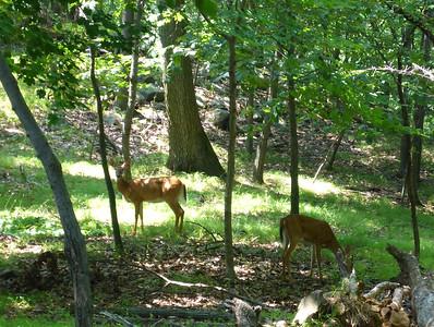 Deer on Hook Mtn.
