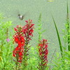 Cardinal flowers with hummingbird.