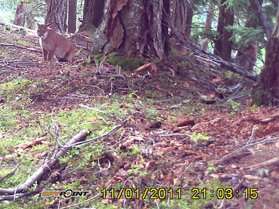 3 cougars in one cam - 1 to left of tree and 2 to the right.