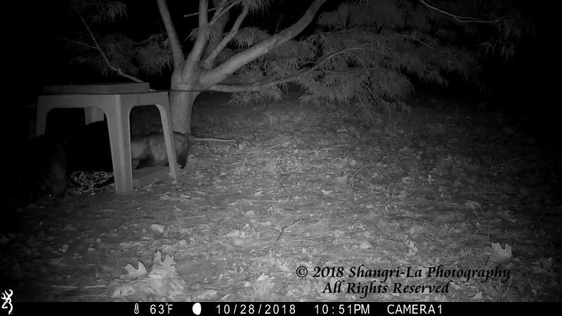 10-29-2018 Raccoon - Possum