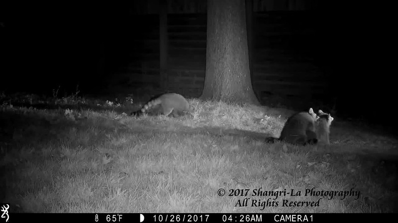 Ever wonder what goes on in the early morning hours in suburbia!  Here are four raccoons in the backyard having their own wrestling match!