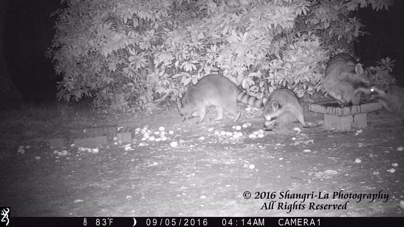 Raccoon Mischief and Playtime 09-05-2016