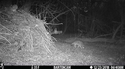 Coyote sees the infrared camera lights, cocks head trying to figure it out.
