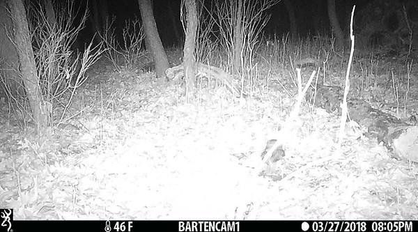 Screech owl on the ground.