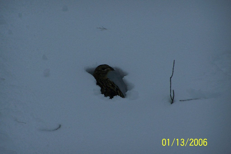 A partridge on 4&7 in the deep snow! Dec. 28, 2012