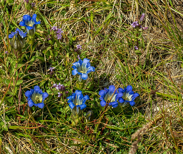 Two kinds of Gentians: Mountain (deep blue), and Star (purple).