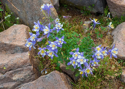 A nice Blue Columbine growing out of the talus