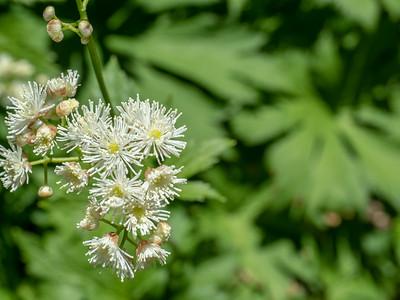 Trautvetteria caroliniensis var.occidentalis