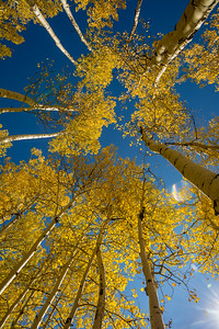 Aspen cathedral, near Owl Creek Pass