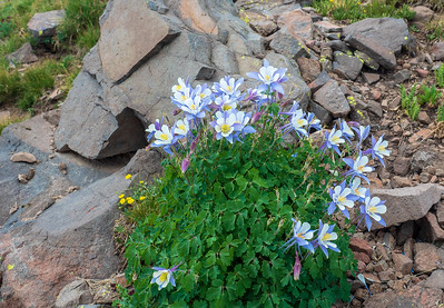 Colorado Columbine growing in some rocks along the CDT.