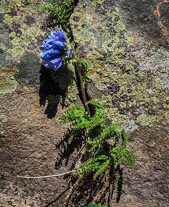 Sky Pilot, growing out of a crack in the lichen-covered rocks