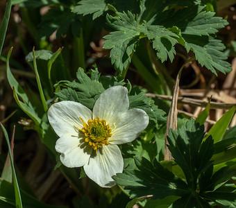 Globeflower, Trollius laxus