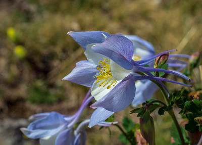 Colorado Columbine, Aquilegia coerulea. Of course, this is one of everyone's favorites.