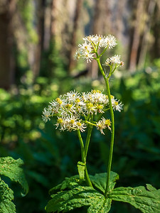 Carolina Bugbane