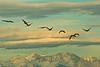A Flight of Cranes near the Sangre de Christo Mountains