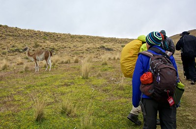 Sue, in the striped hat, and Roger, with the yellow pack cover, are making way for another guanaco.