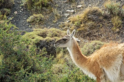 Guanaco in the thorny lowlands of Torres del Paine.