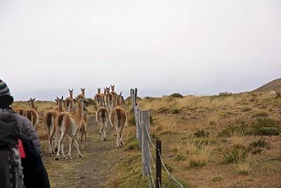 It felt like we were herding the guanaco!