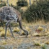 A Darwin's Rhea (AKA Lesser Rhea), flightless birds related to Ostriches. These are pretty common in the steppes of Patagonia