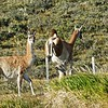 Roadside Guanaco. These are closely related to Llamas, and are quite common on the steppes in Patagonia.