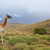 Behind this Guanaco, yo can see snow fields on the mist-shrouded Torres del Paine mountains.