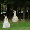 The lodge's llamas giving me the eye