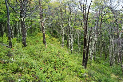 The elaborate walk way that allows close views of the glacier passes through a moody beech forest.