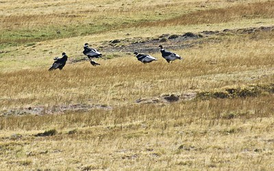 Four Condors and a Crested Caracara are holding a meeting on the steppe.