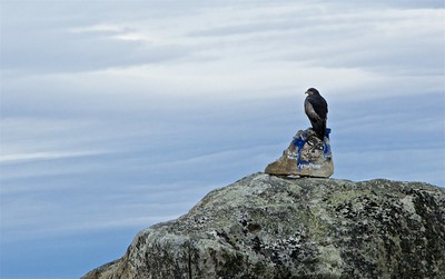 A Mora eagle ( Geranoaetus melanoleucus) on a lovely graffiti covered boulder.